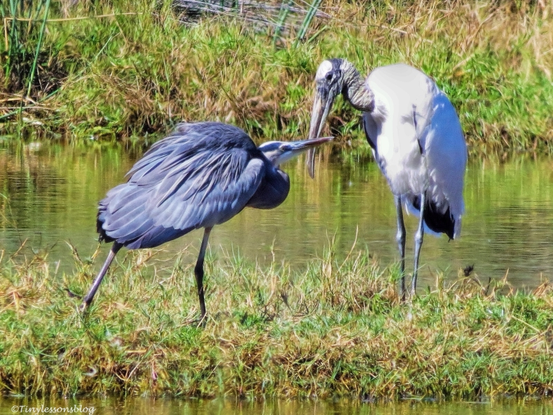 young blue heron and a wood stork