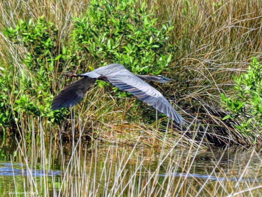 young great blue heron in flight