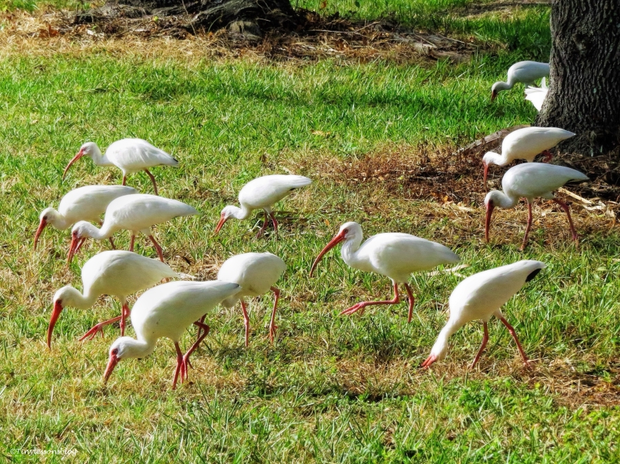 a flock of white ibis ud39
