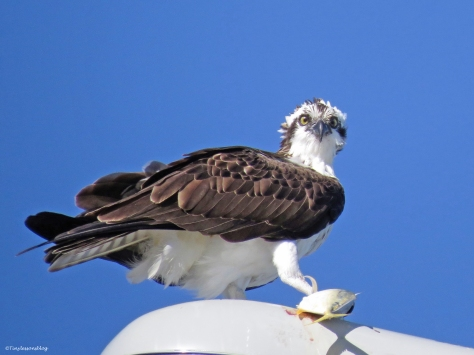 female osprey Sand Key, Clearwater, Florida