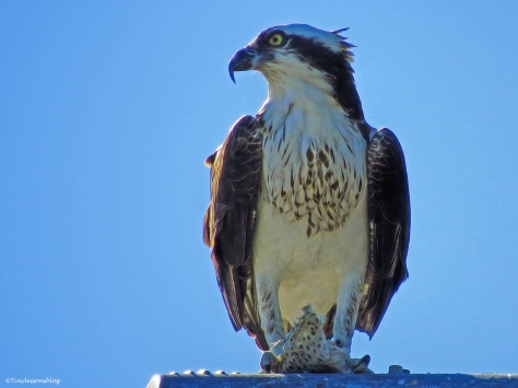 another female osprey Sand Key, Clearwater, Florida
