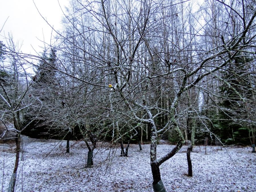 apple garden and snow fi