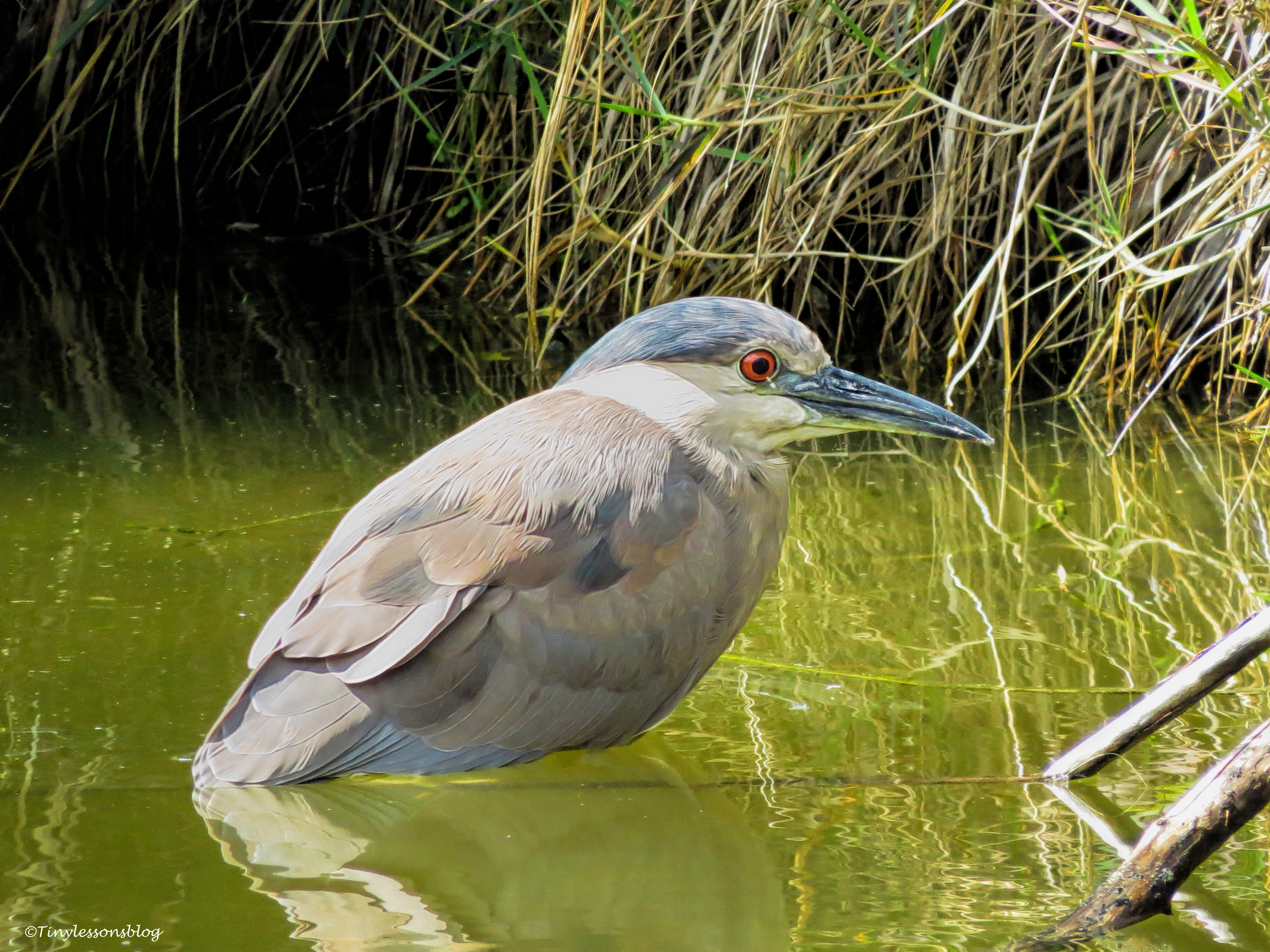 black-crowned night heron UD36
