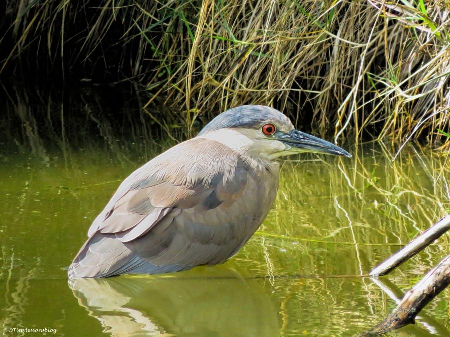 black-crowned night heron UD36
