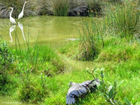 blue heron goes down UD36