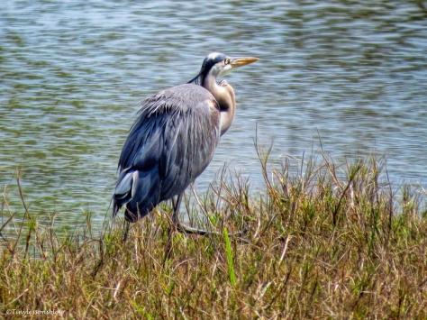 blue heron the culprit ud36