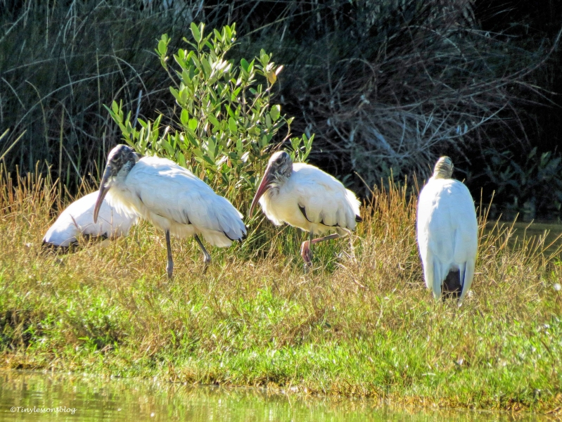 four wood storks Sand Key, Clearwater, Florida