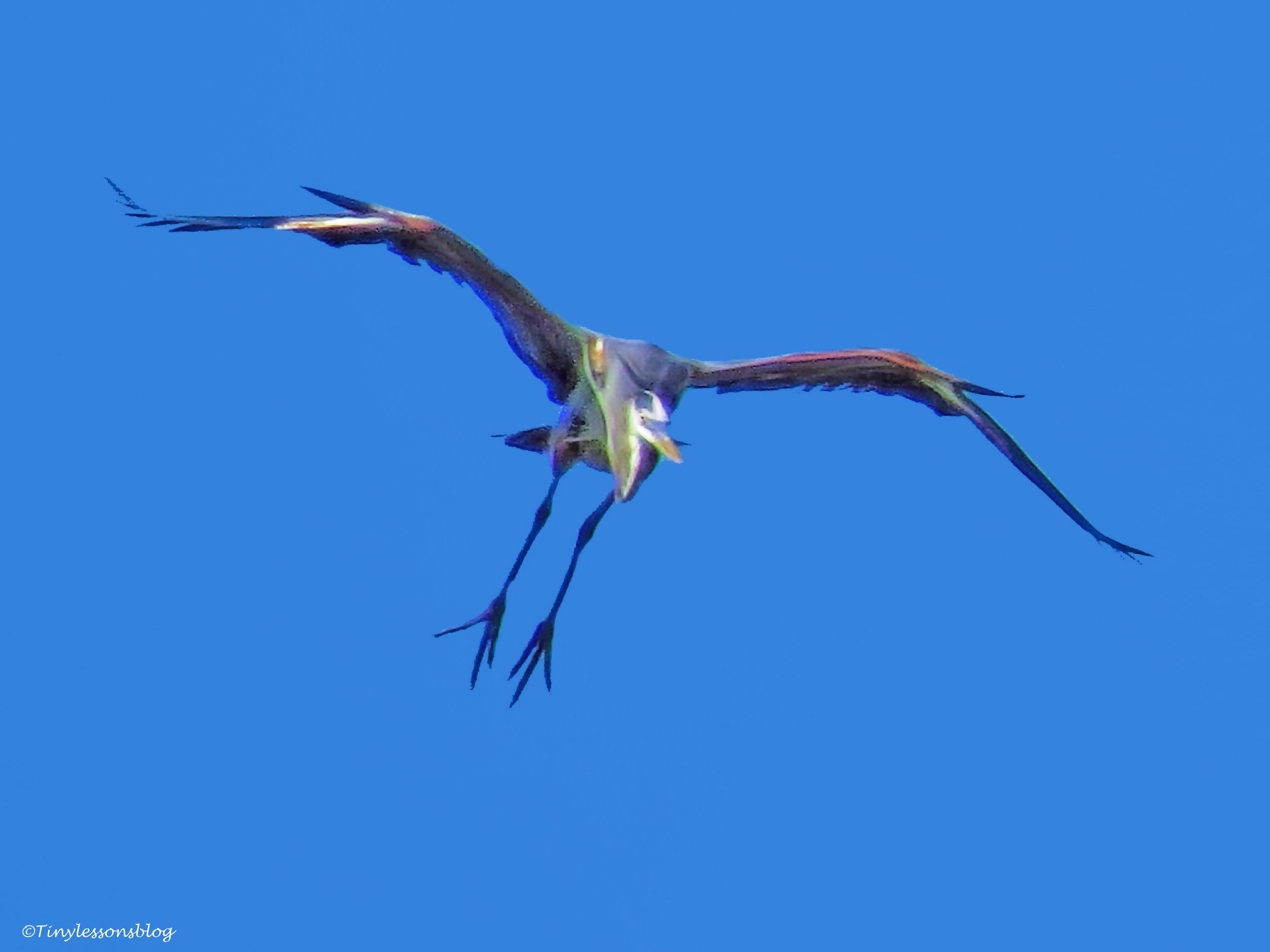 great blue heron 2 ud38