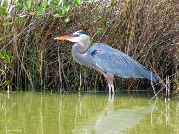 great blue heron Mayor ud39