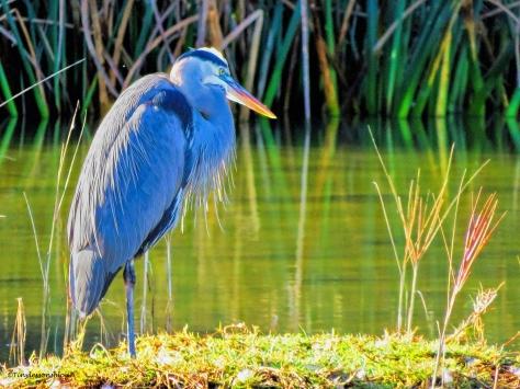 great blue heron ud35