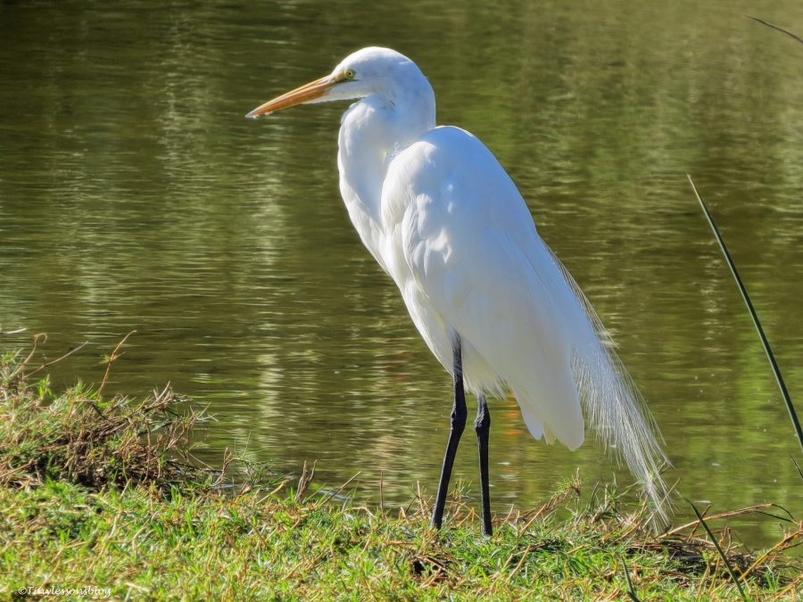 great egret Sand Key, Clearwater, Florida