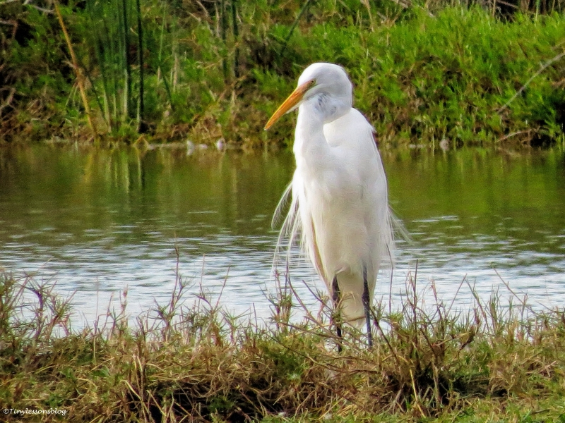 great egret ud35