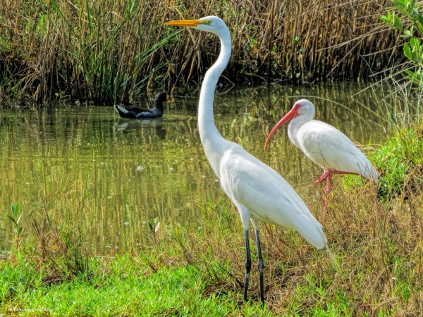 great egret white ibis and moorhen ud38