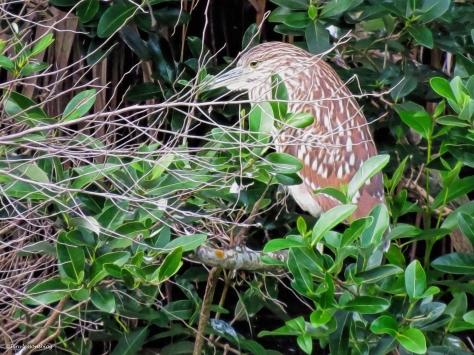 juvenile yellow-crowned night heron christmas ud38