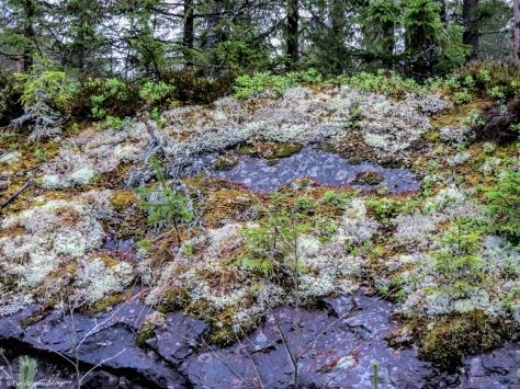 lichen in the forest Finland