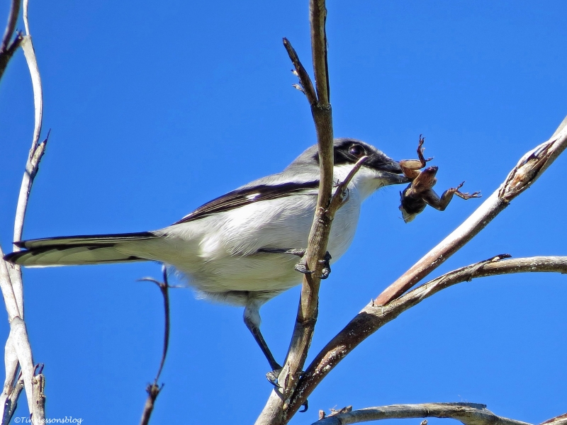 butcher bird loggerhead shrike with a frog Sand Key, Clearwater, Florida