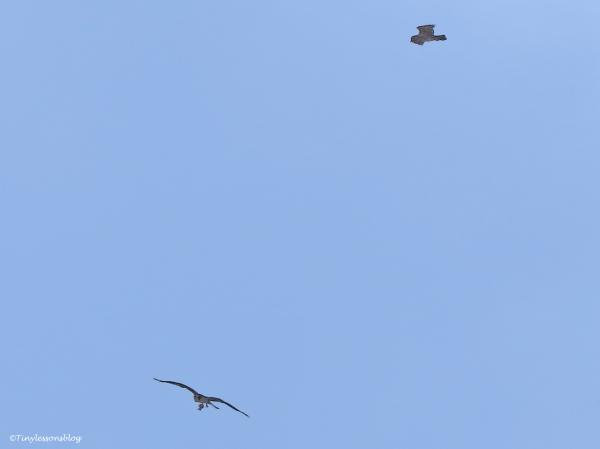 male osprey with fish and a female osprey