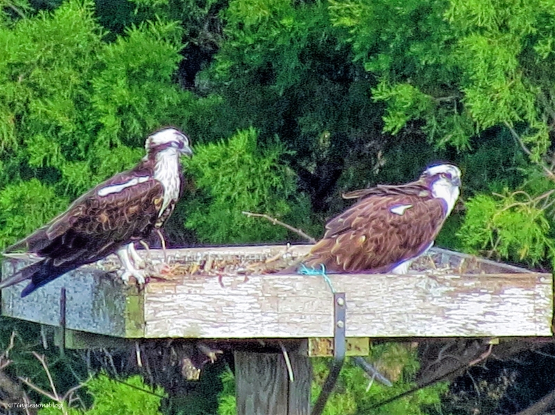 mama and papa osprey in the nest first time ud39