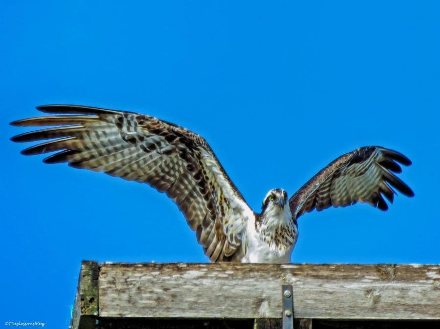 female osprey arrives at the nest