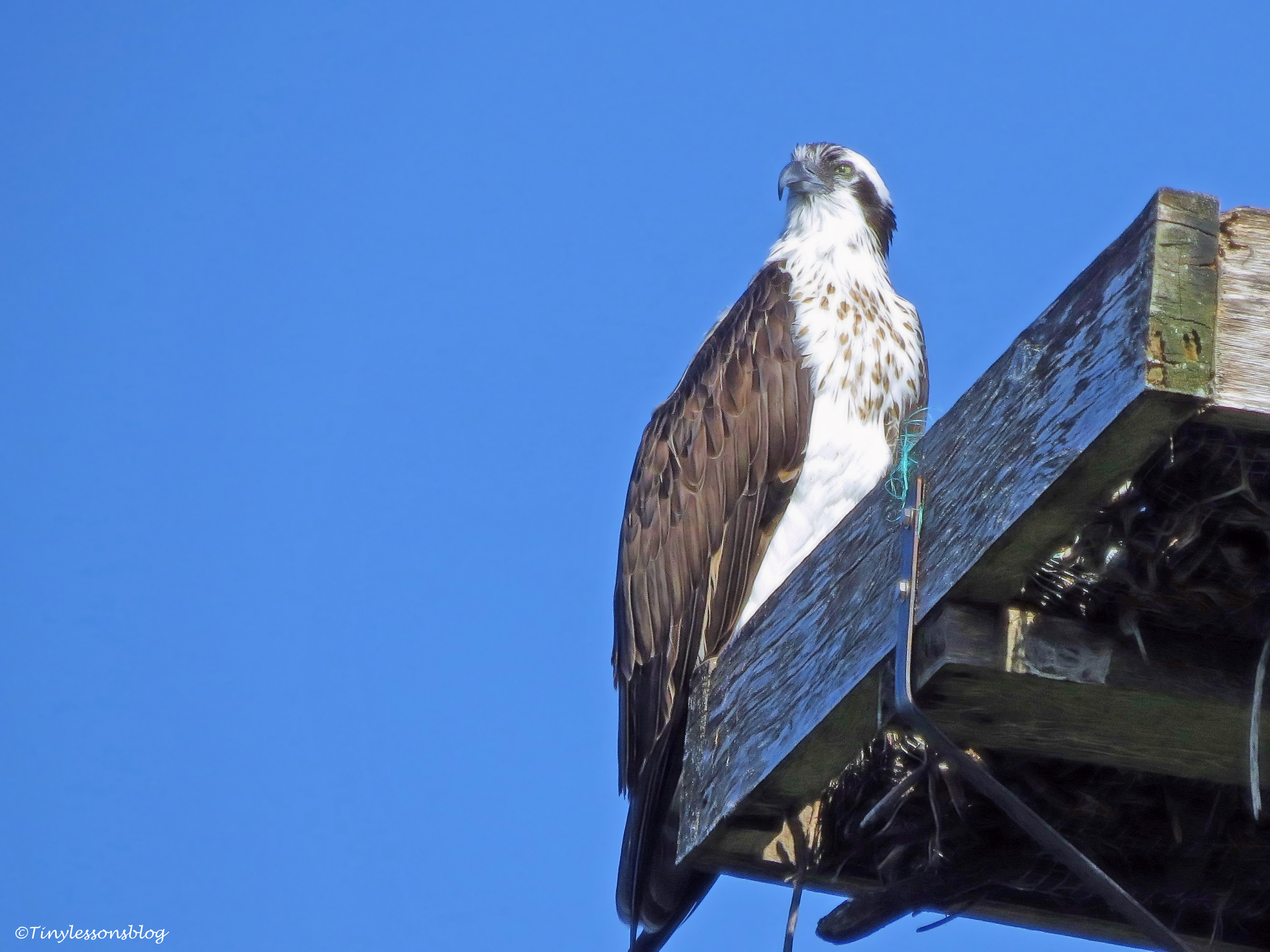 mama osprey at the nest ud35