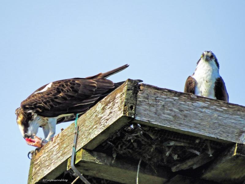 mama osprey eats papa osprey watches ud39