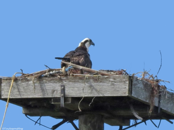 male osprey at the nest