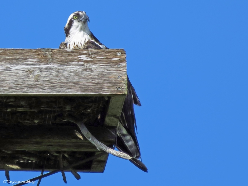 female osprey at the nest