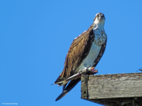 female osprey at the nest with a fish Sand Key, Clearwater, Florida
