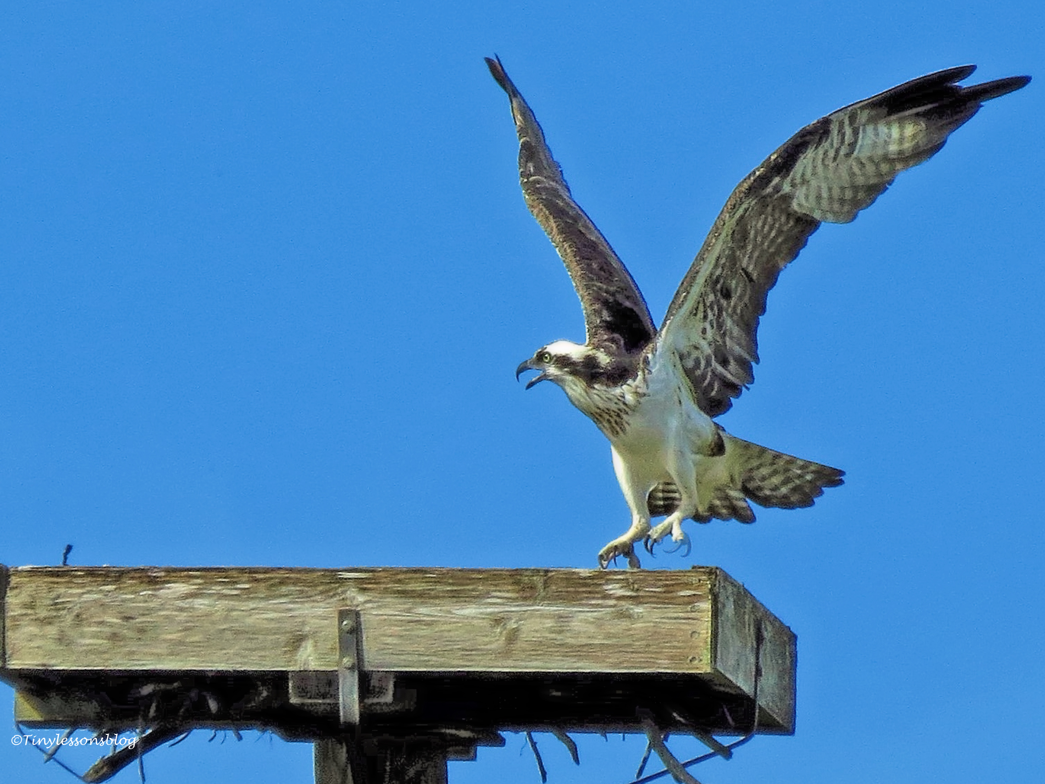 female osprey is upset