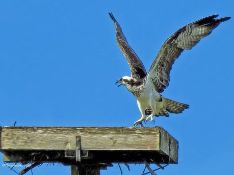 female osprey is upset