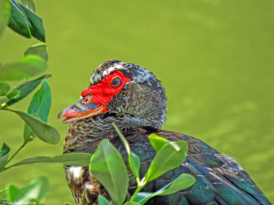 muscovy duck christmas portrait