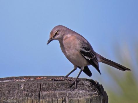 northern mockingbird 2 ud38
