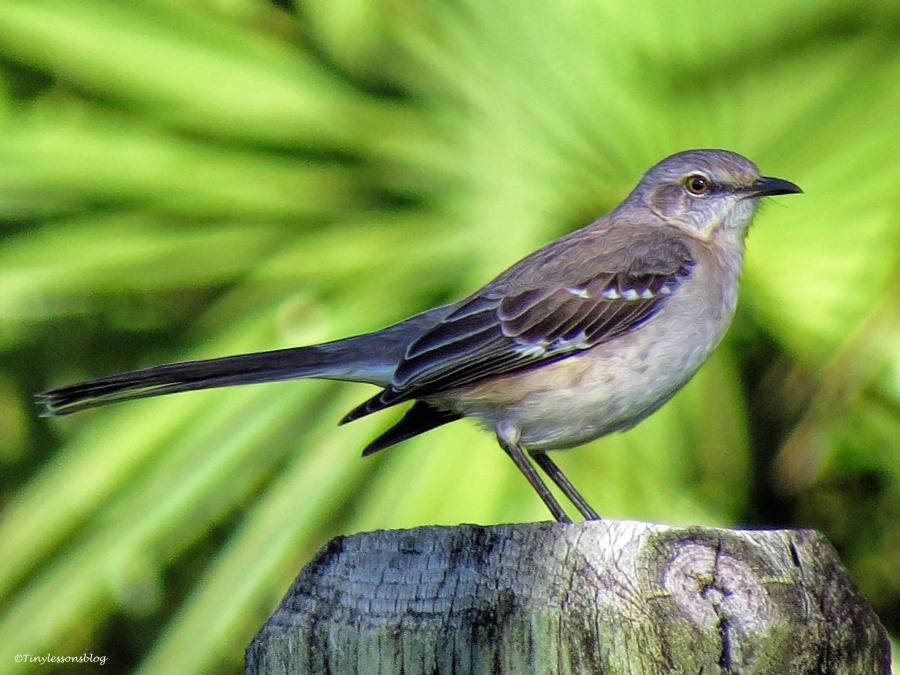 northern mockingbird UD35