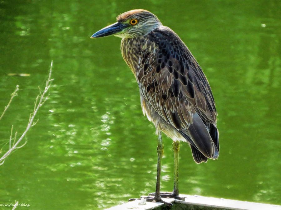 older juvenile yellow-crowned night heron ud39