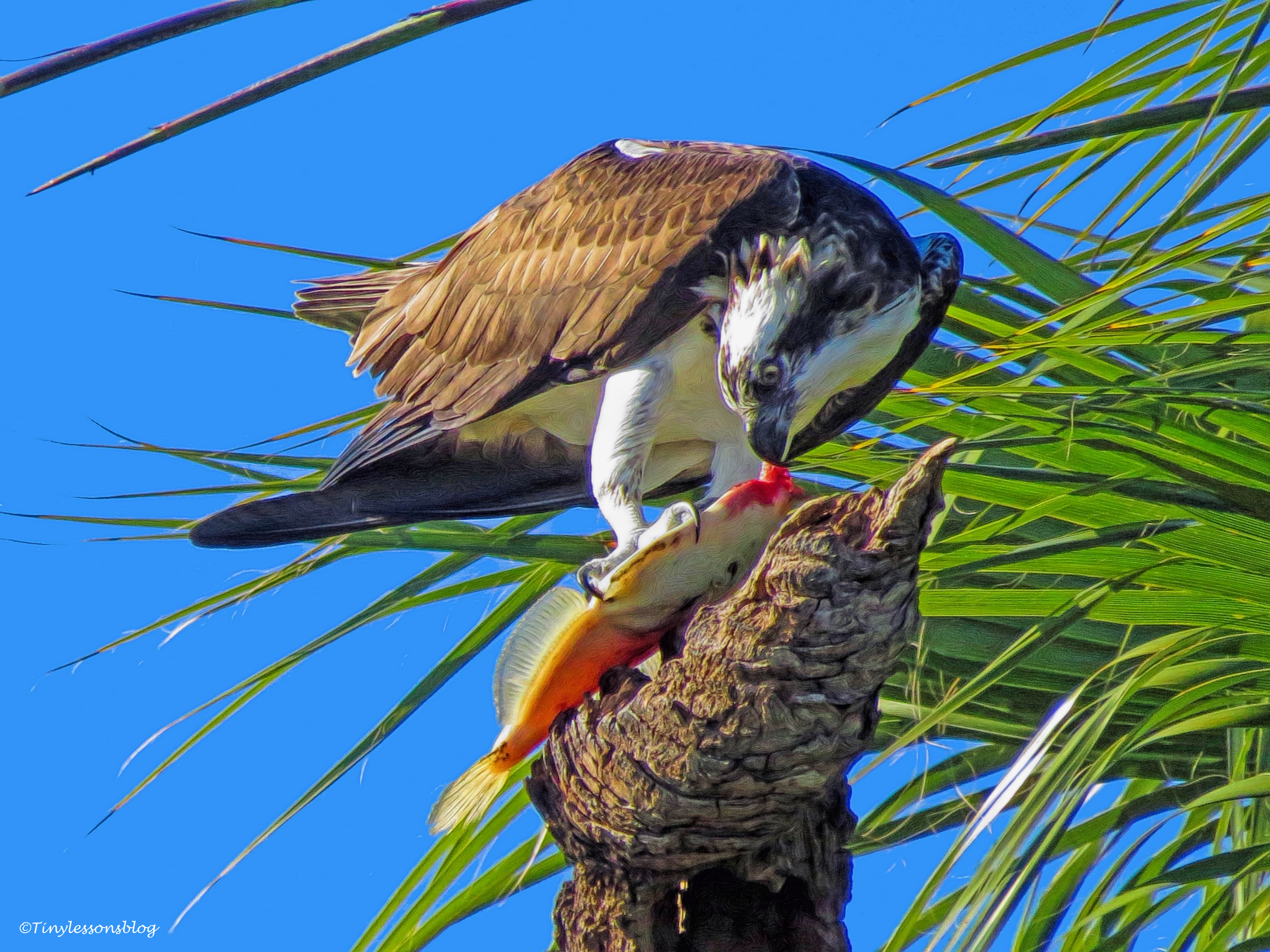 Male osprey eats fish Sand Key, Clearwater, Florida