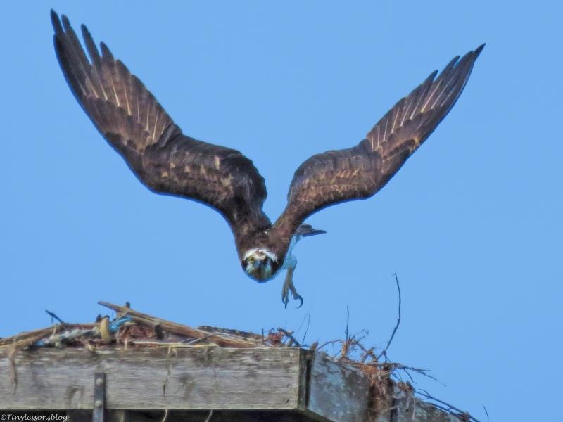papa osprey faces danger ud36