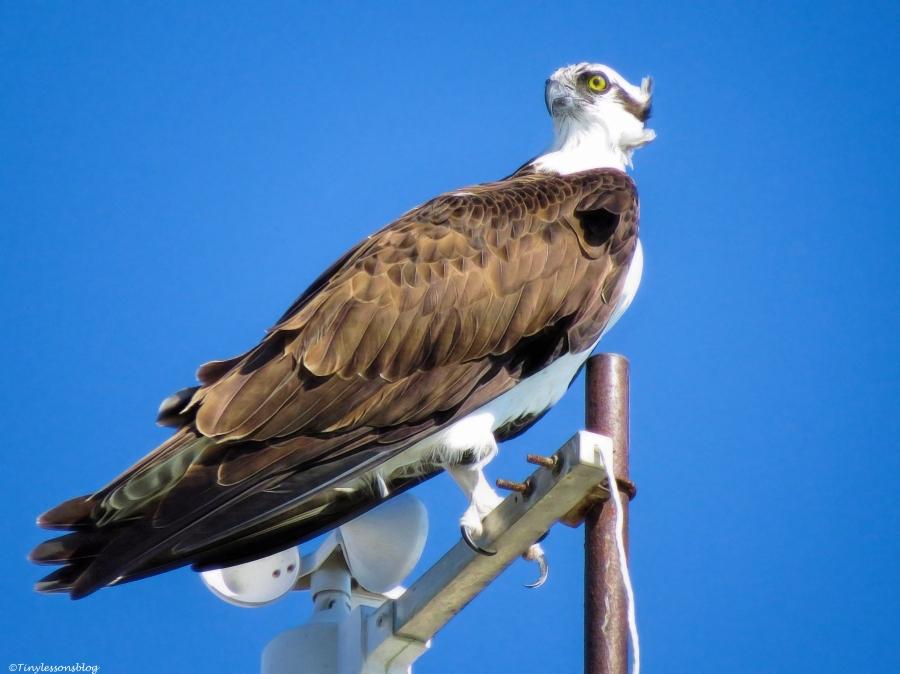 papa osprey looks at mama ud35