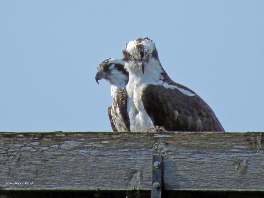 papa osprey looks down at fish ud39
