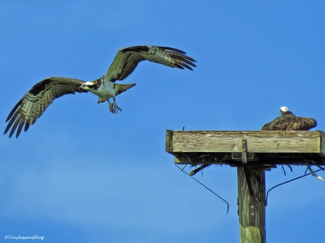male osprey not allowed at the nest