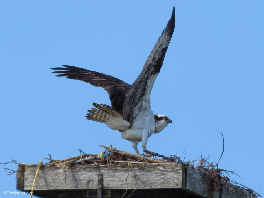 papa osprey turns ud36