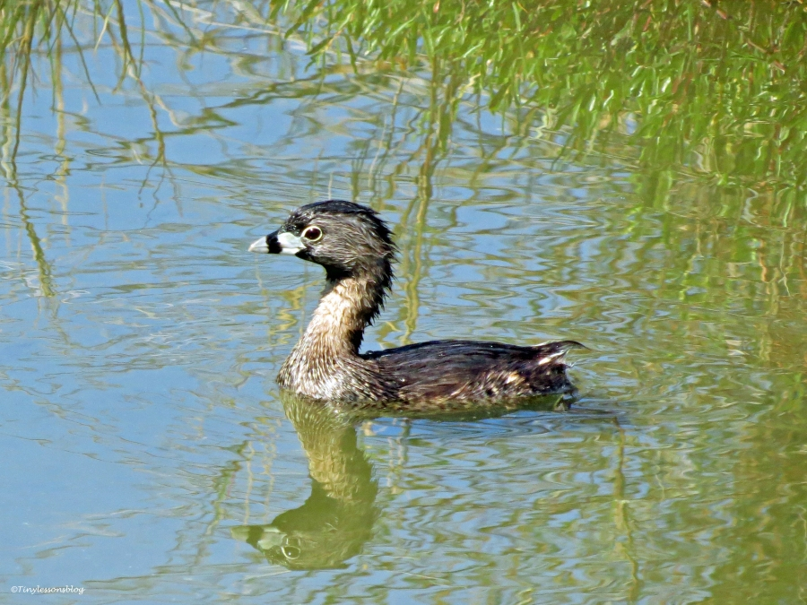 pied billed grebe Sand Key, Clearwater, Florida