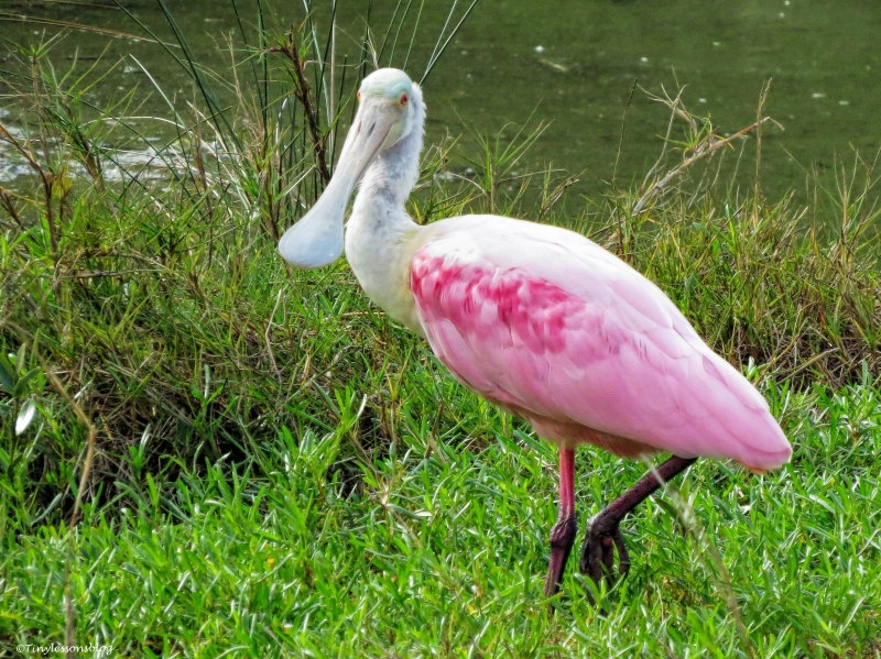 roseate spoonbill 2 ud35