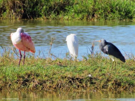 roseate spoonbill snowy egret tri-colored heron Sand Key, Clearwater, Florida