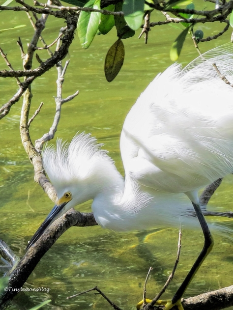 snowy egret is really upset ud39