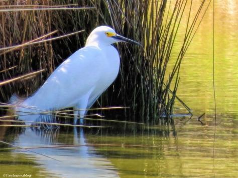 snowy egret ud35