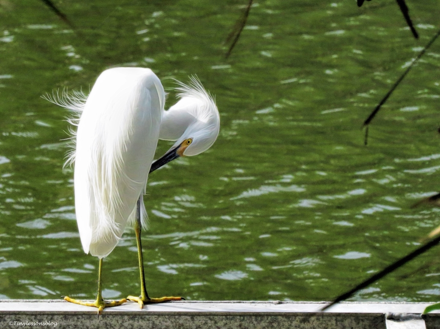 snowy egret ud39