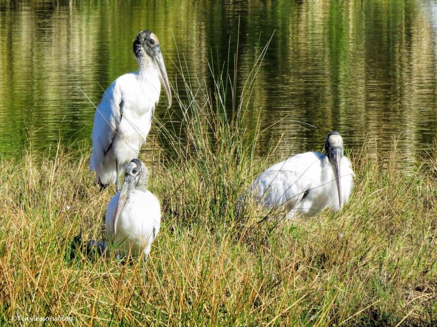three wood storks Sand Key, Clearwater, Florida