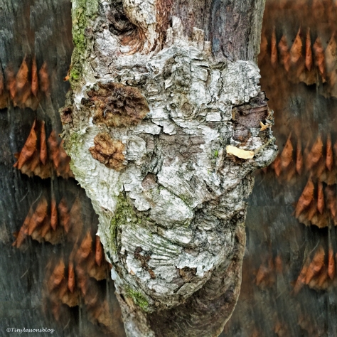 A face in a birch tree Finland