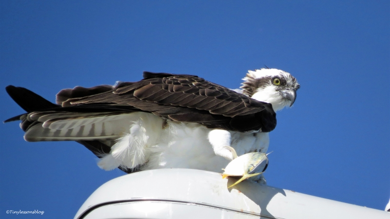 young female ospreySand Key, Clearwater, Florida