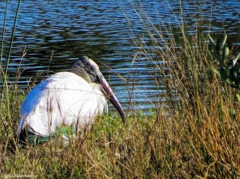 wood stork Sand Key, Clearwater, Florida
